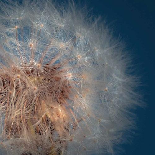 ecosysteme unatera dandelion